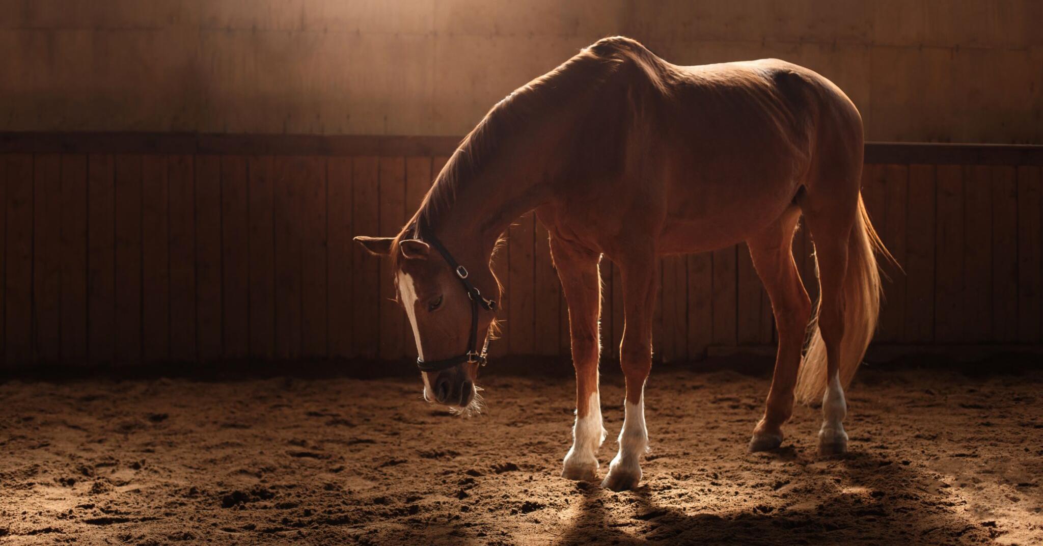 Les dermites du cheval