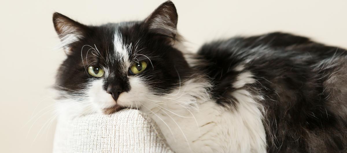 Hypervitaminose A (ou abus de vitamine A) chez le chat