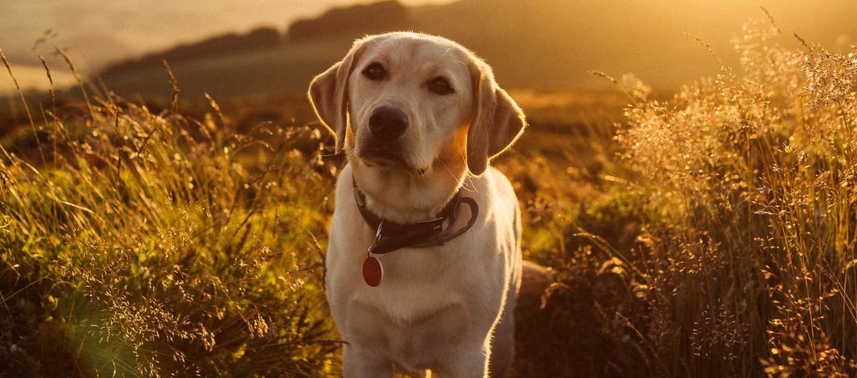 Le labrador, meilleur ami de l'Homme