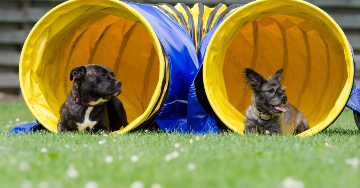 Agility et chien