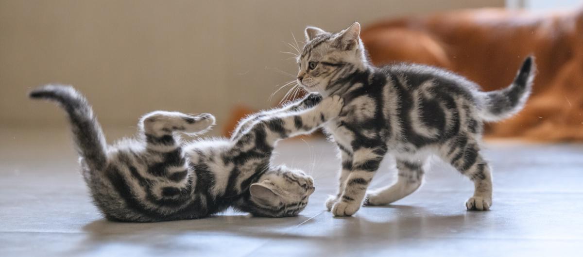 L'alimentation du chaton entre 2 et 6 mois