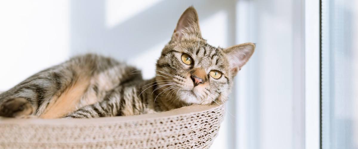 Arthrose du chat