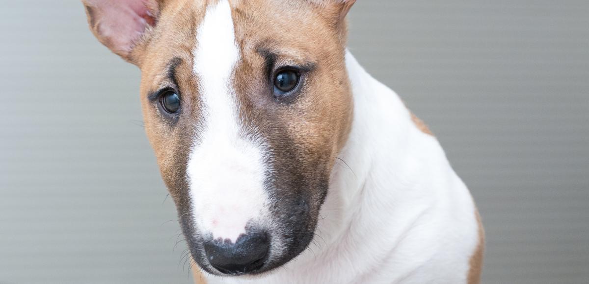 Le Bull Terrier, le chien au nez romain