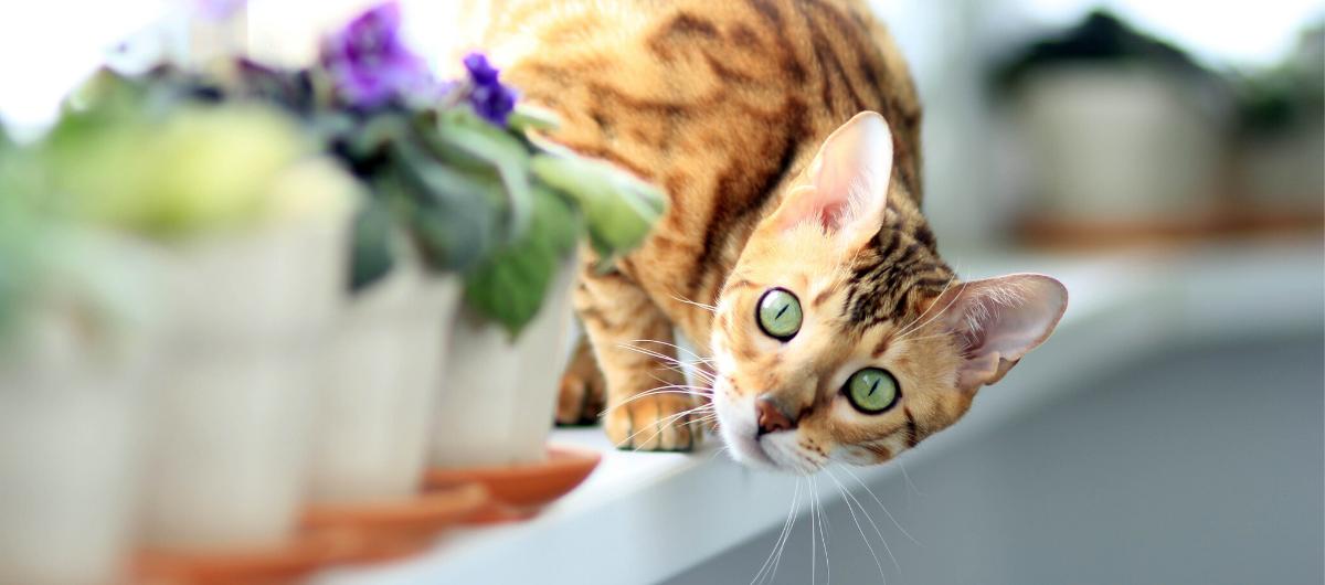 Le bengal ou le chat-fauve