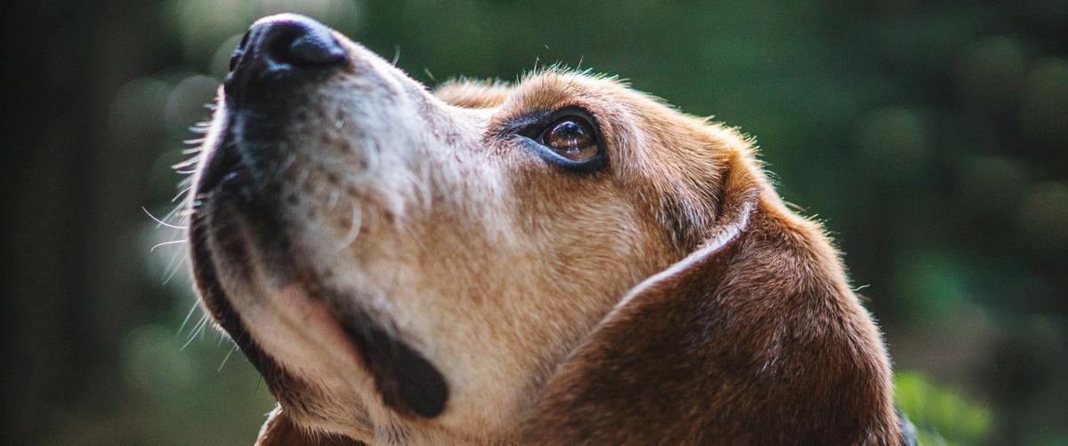 Votre chien a le nez qui coule ?
