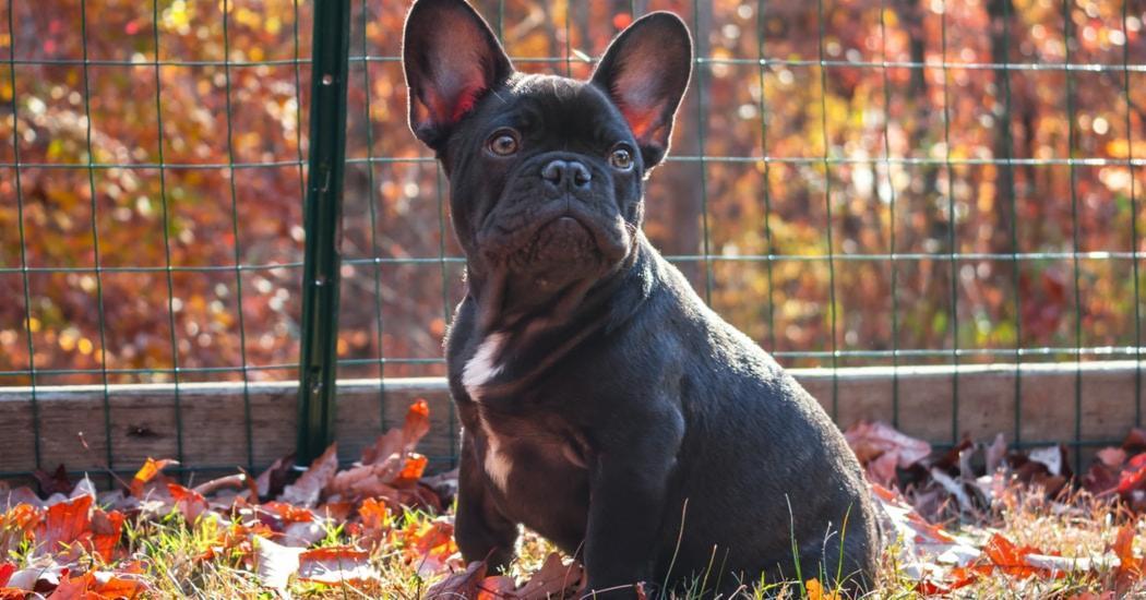 L'oreille du chien : son ouïe formidable