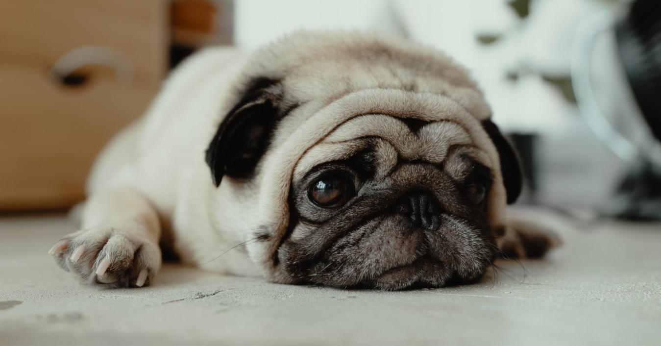 Les puces du chien