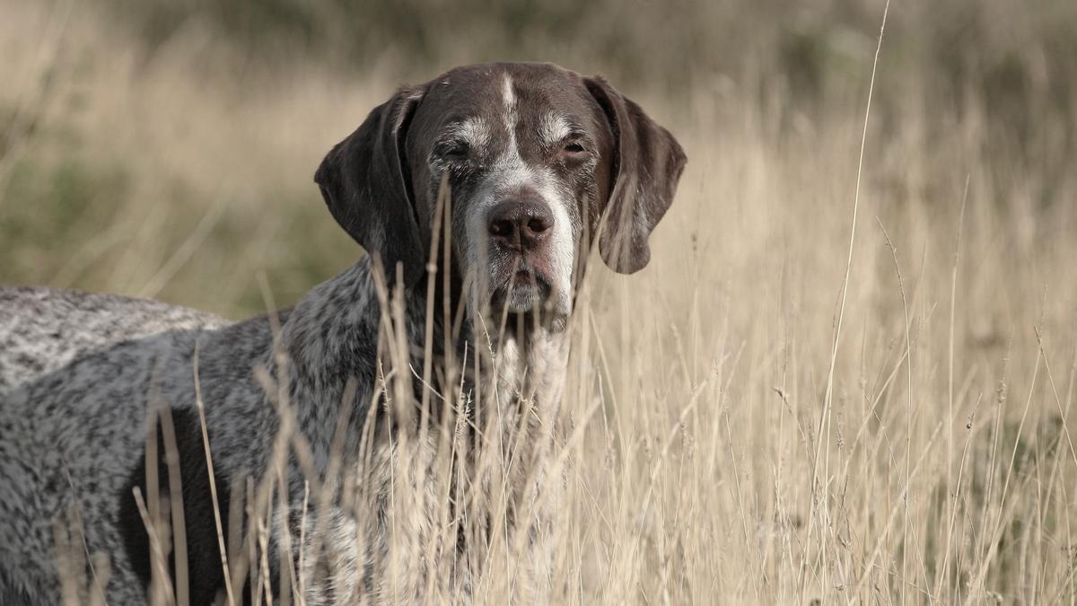 Le syndrome de l'oeil rouge chez le chien