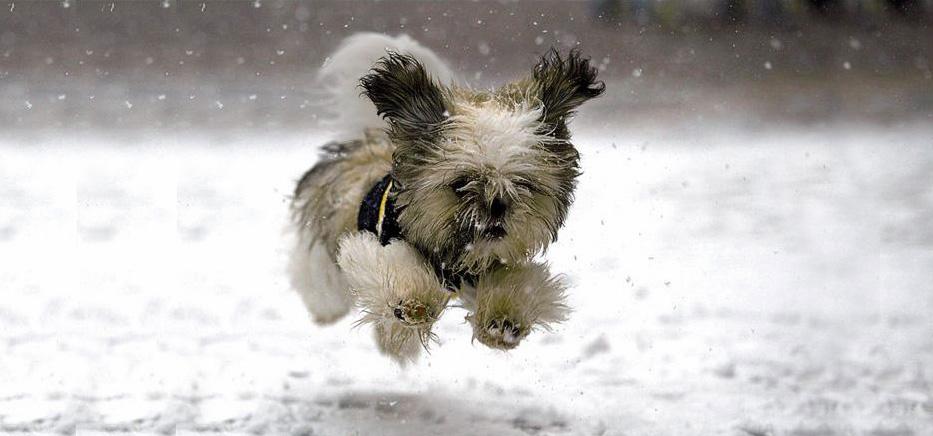 Défenses immunitaires du chien et maladies hivernales