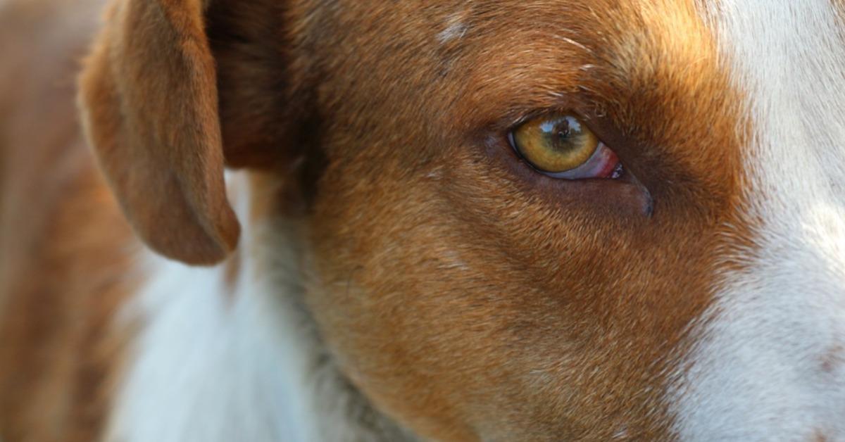 Fonctionnement des yeux du chien