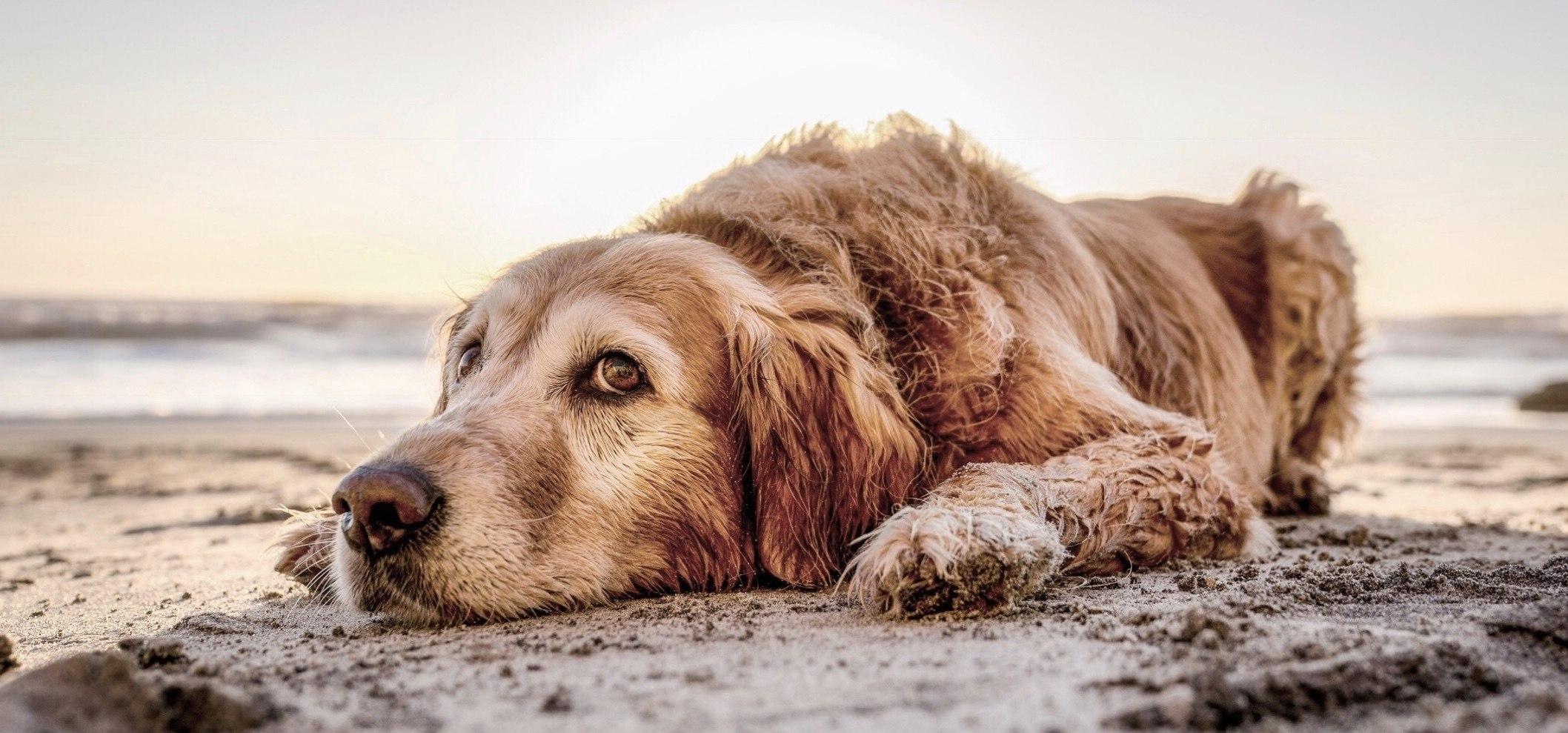Comment protéger les coussinets de mon chien en été