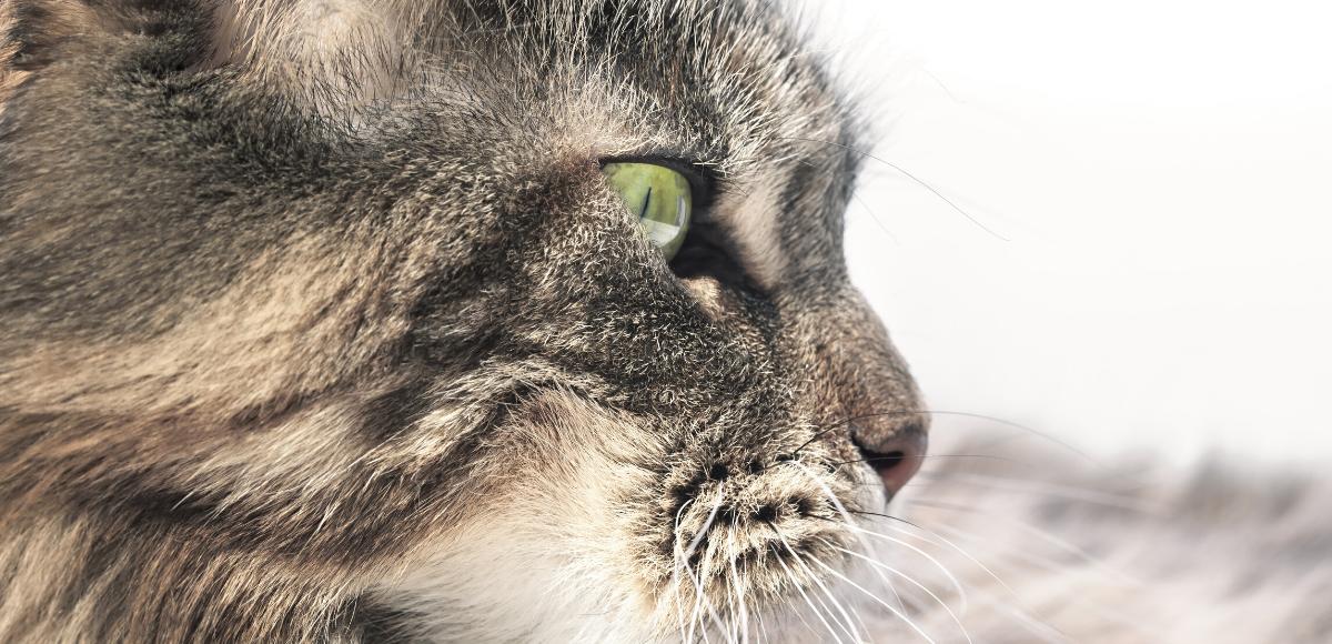 Le Maine Coon, le boss des chats !