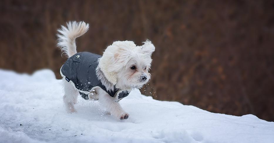 Mettre un manteau à mon chien en hiver  ?