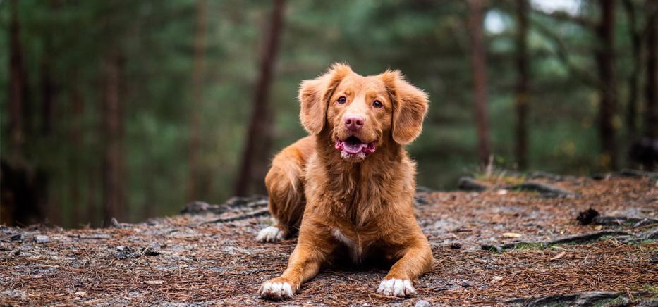La mue saisonnière du chien