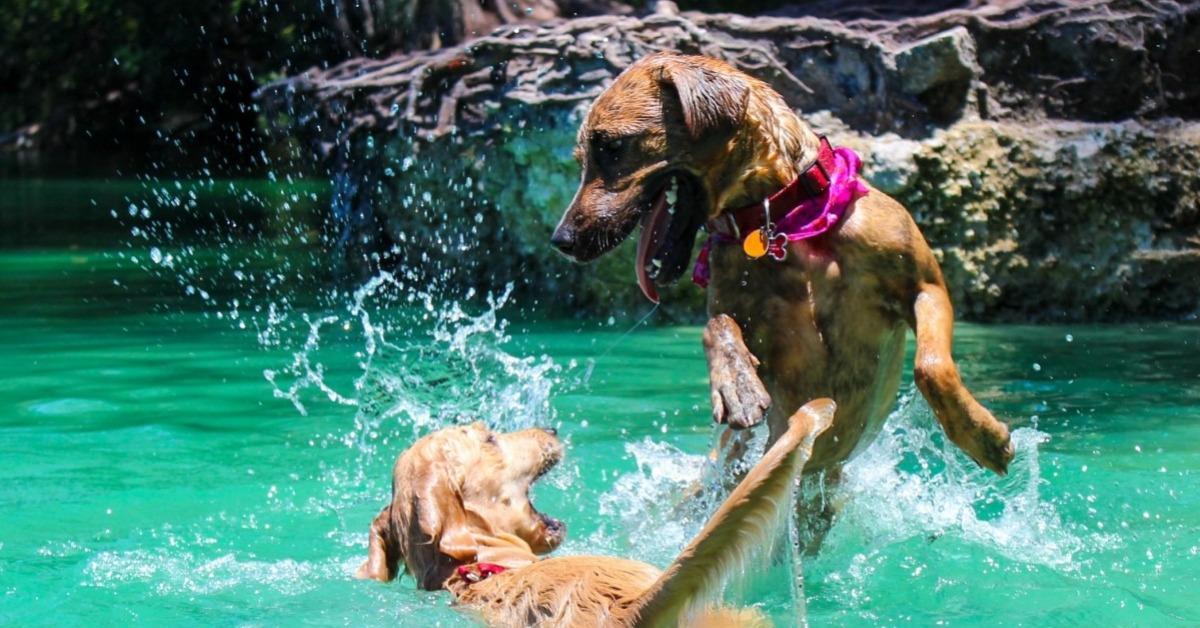 Natation du chien