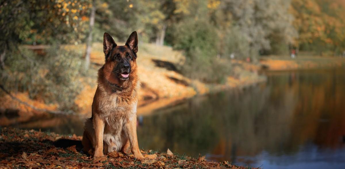 Pancreatite nei cani: la sindrome da malassorbimento