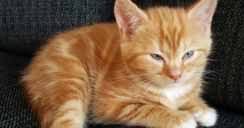 Le ronronnement des chats : pourquoi et comment ?