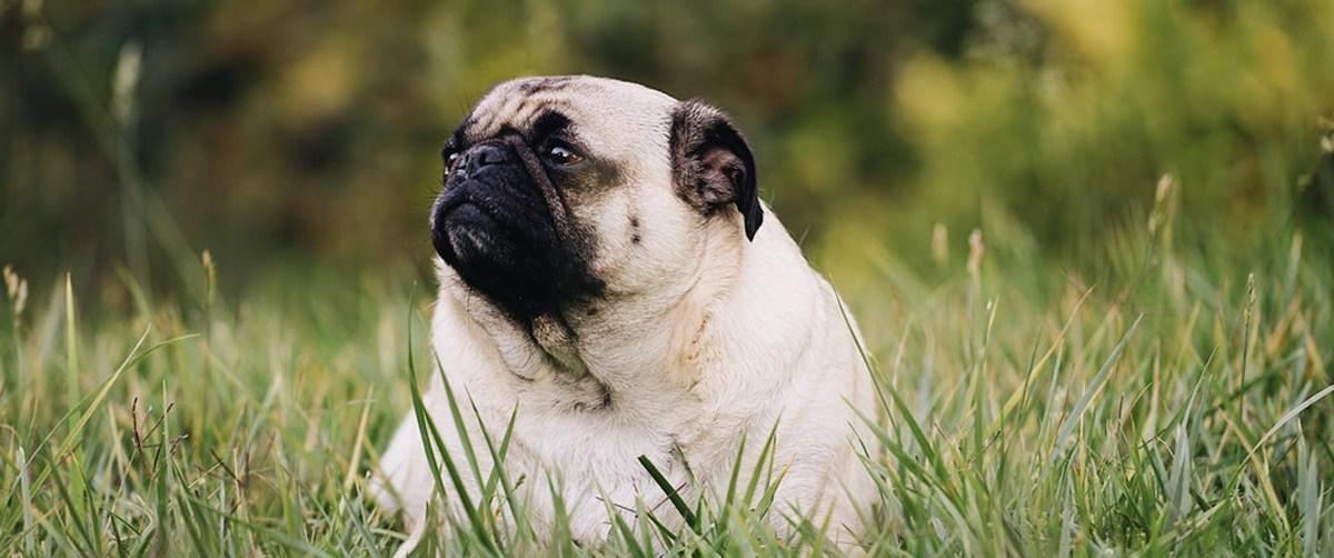 Le surpoids et l'obésité chez le chien
