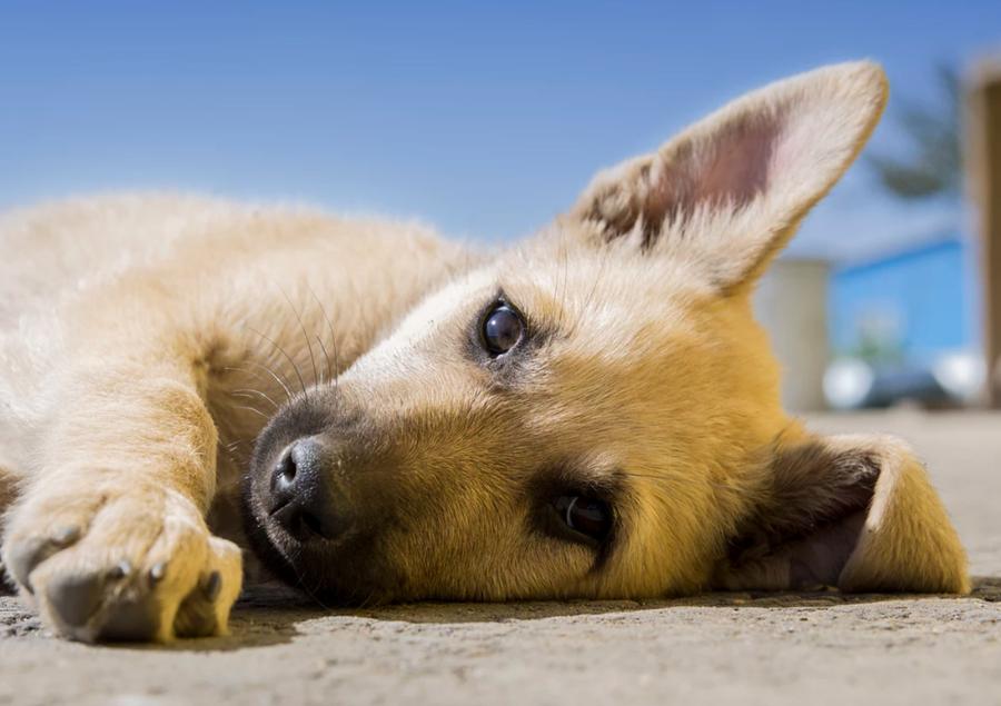 Sommeren er over os – pas på dit kæledyr i varmen!