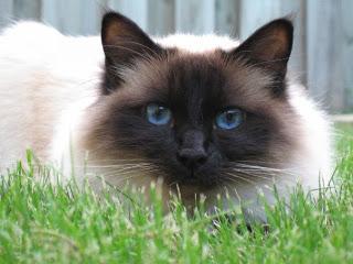 The Birman Cat Breed