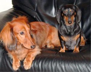 The Dachshund Dog Breed, The Sausage Dog!