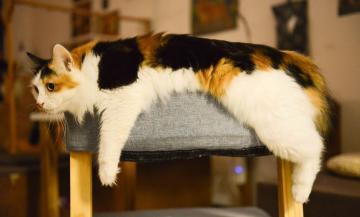 Gatos con sobrepeso: alimentación y cuidados