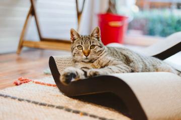 ¿Cúales son los Síntomas de las bolas de pelo en los gatos ?