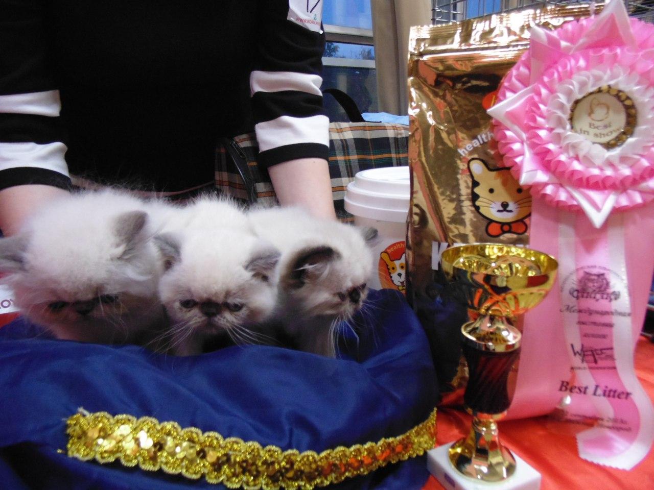 Алла Дудник - питомник персидских и экзотических кошек