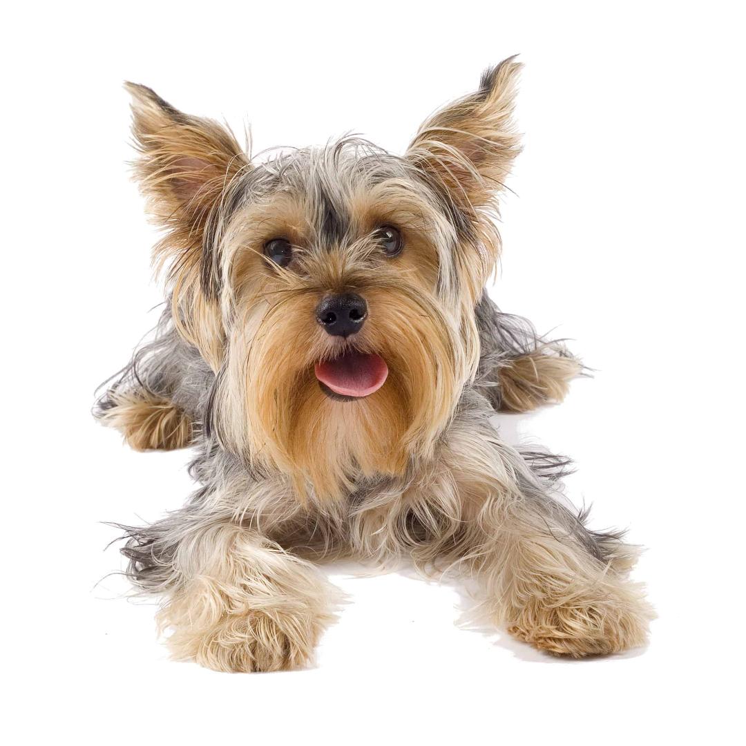 Jak správně krmit dospělé psy malých plemen