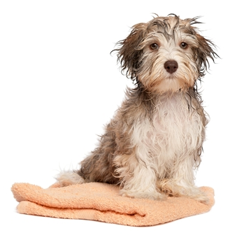 Себорея и Себорейный дерматит у собак.