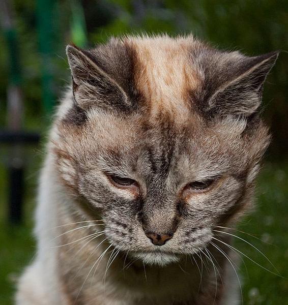 Гипертиреоз кошек.