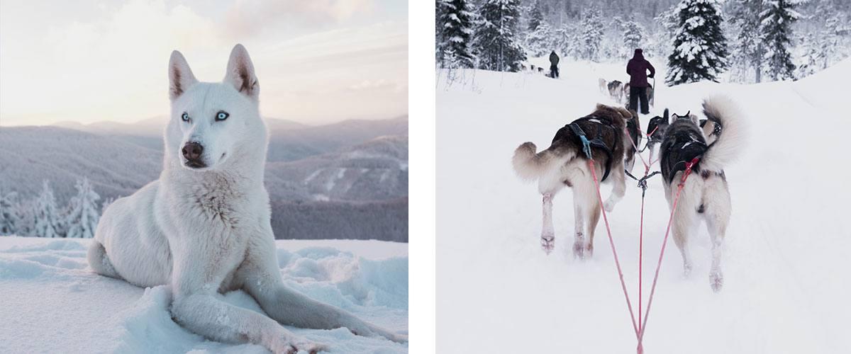 race de chien husky