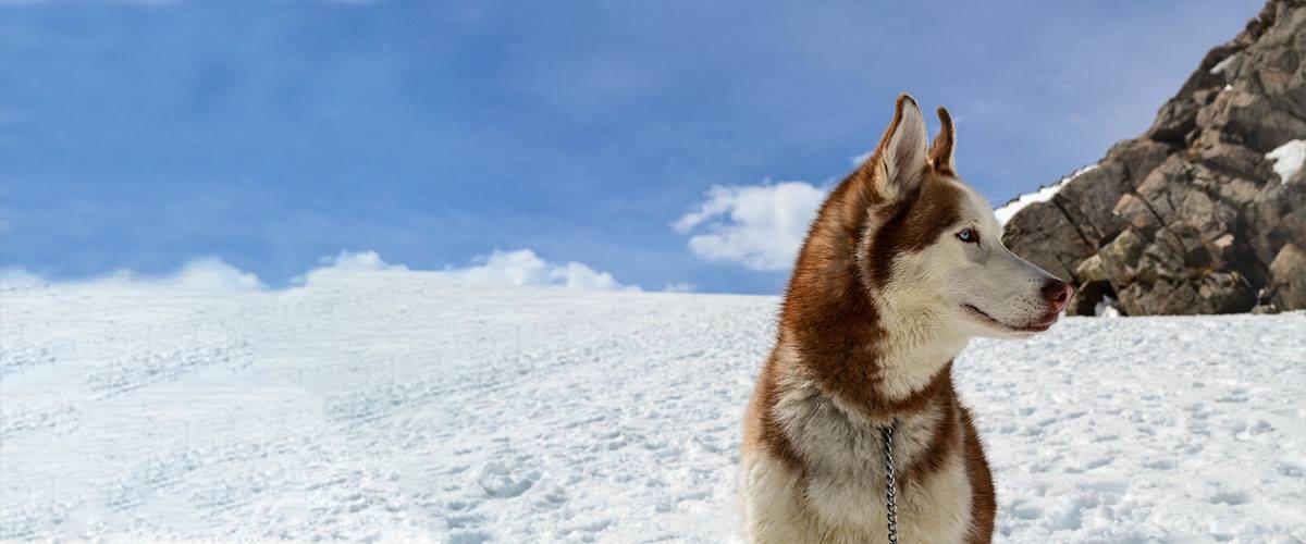 Comportement du chien husky