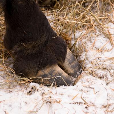 Prendre soin sabots cheval hiver