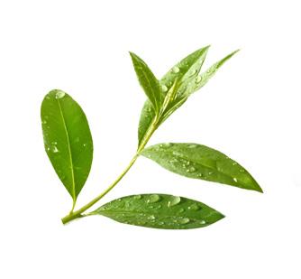 Soin des oreilles huile de théier